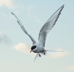 Arctic Tern- Farne Islands
