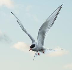Arctic Tern- Farne Islands