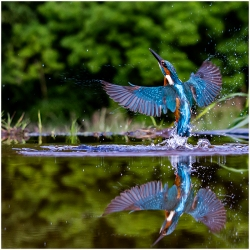 Kingfisher with reflection by Stuart Edgar